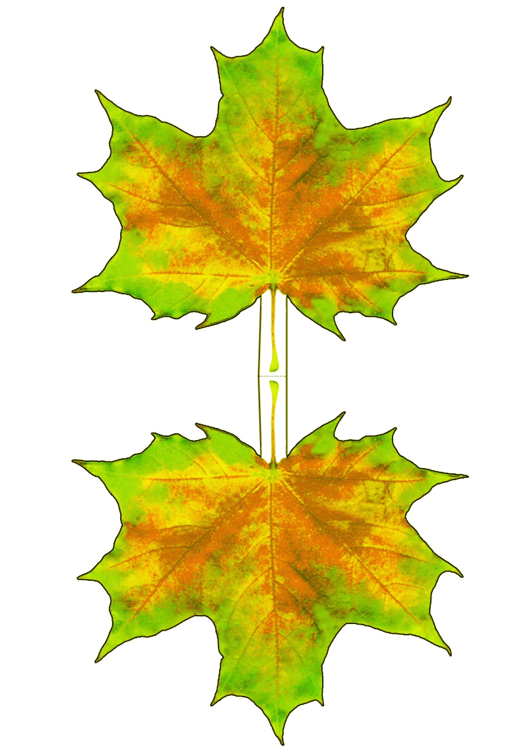 Yellowing autumn maple leaf decoration rooftop post for Decoration leaves