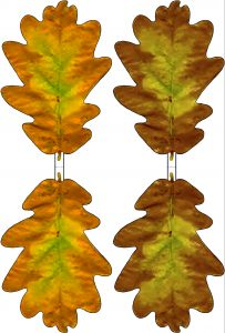 Printable yellow and brown paper oak leaves