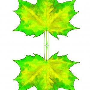 Printable paper yellow and green maple leaf