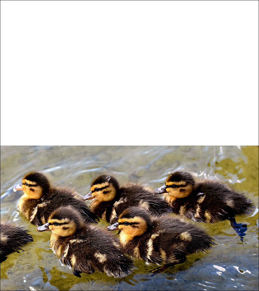 Printable Easter card of ducklings on the water.