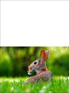 Printable Easter card picturing a wild rabbit in a meadow.