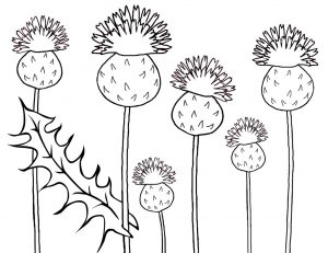 Picture of Scottish thistles to print and colour in